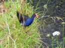 A colorful Pukeko bird by the river