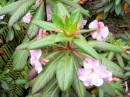Close up of the delicate flower on the rhododendron (?) plant.