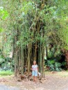A large bamboo tree near the Mansion House grounds.