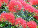 Another close up of a pohutukawa blossom