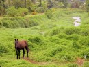 There are many beautiful horses in the Marquesas - this one is tethered in a lush stream outside Atuona, Hiva Oa.