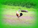 The ubiquitous rooster - they are all over on all of the islands, and they never seem to know what time of day it is!