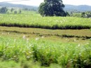 Mesmerizing cane fields outside of Labasa.