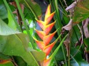 A bird of paradise bud, not yet in bloom - Nuku Hiva.