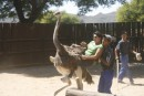 touri - ramba - zamba on ostrich show-farm - you had to pay extra for a short ride, we rather watched