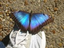 This Blue Morpho landed on my shoe. I bought a souvenir to remember how wonderful they make you feel.
