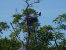 Osprey by his nest