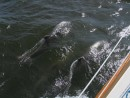Bottlenosed Dolphins in Pamlico Sound