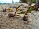 Coconut Palms taking root.