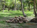 Coconuts ready to be sent to Nargana for sale