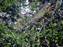 "Iguanas in the trees - we saw more than a dozen in one tree. It was like and ""I Spy"" activity;)"