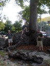 Massive ceiba tree with above ground roots in Cuban Memorial Boulevard Park