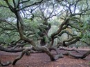 Angel Oak Tree on Johns Island. a live oak that