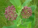 Milkweed after the monarch flew away