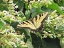 A swallowtail visits the garden.