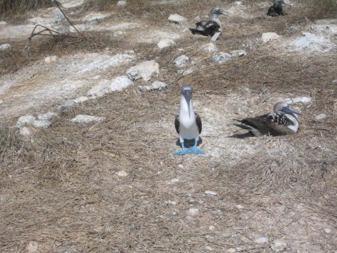 Yes, they really do have blue feet.  There are also yellow footed boobies that nest here.