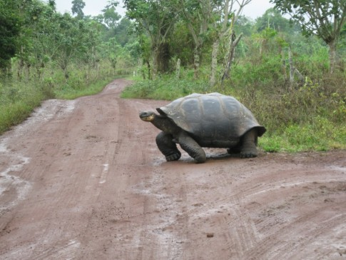 "This is another shot of our ""wild"" tortoise crossing the road in front of our cab."