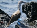 Another blue footed booby