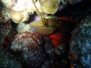 Redband Parrotfish on night dive