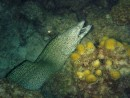 Spotted Moray Eel at night