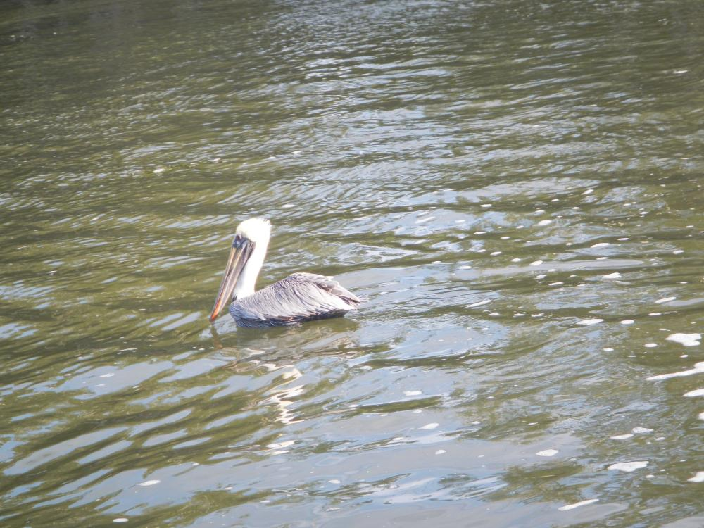 Florida waterbirds- Pelican