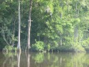 The Waccamaw River:A Cypress Swamp