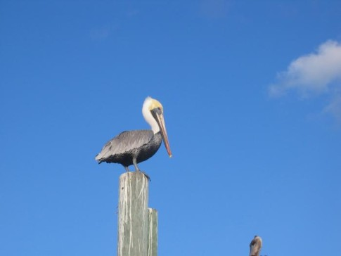 Very Cool Pelican