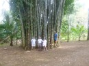 Again huge bamboo