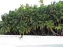 Coconut palms are thick and lush all over the islands.