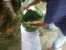 Sikki placed a couple of unripped banana leaves into a pot and wet them with coconut milk. The coconut milk acted as an anti-stick due to its high fat content.