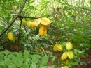 As we were foraging in the forest, we came along this starfruit tree.