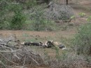 Wild dogs are a rare sight we were told by everyone whom we told we had seen them.