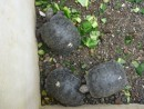 Two year old tortoises.