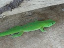 Gorgeous, green, glowing gecko.