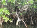 a 3 X 4 foot termite mound sitting on top of mangrove trees