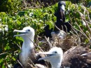 Frigate bird and chicks, Isla Isabel