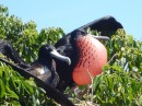 Male frigate bird proudly displaying his colors to female