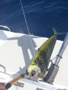 Fish On! Mahi Mahi (Dorado)