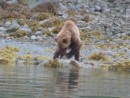 grizzly feeding. pics taken from our dinghy from not very far away