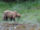 Grizzly Bear close to our anchorage in Fords Terror