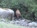 Grizzly leaving beach and headed into woods. We watched this guy for about an hour while he was feeding on beach diggings and grass. We took these photos from very close up. Once the bear entered the brush he instantly disappeared.
