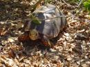 Tortoise: Land Tortoise in the Tobago Keys