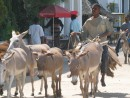 Donkeys: There are no cars in Lamu. This is the only means of transport.