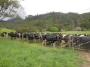 lots and lots of Holstein cattle