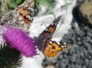 butterflies on Grand Manan Island