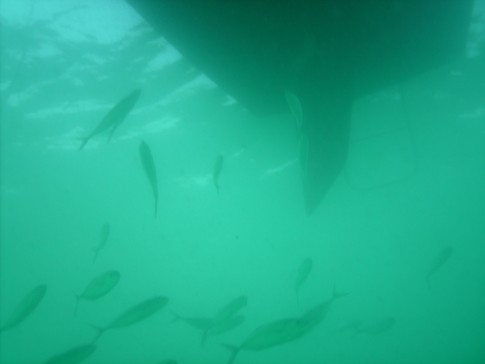 These are just a few of the hundreds of fish that were seeking protection from birds under my boat.