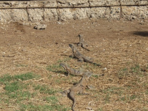 Iguanas on Isla Isabella
