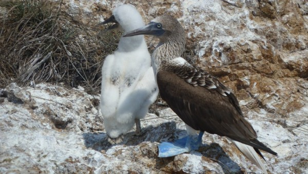 Blue-Footed Booby and a well grown chick in its down feathers.
