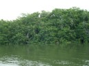 Mangroves behind the boat. The pelicans roost here at night.