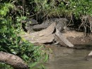 Huge Crocodile everywhere along the river Estero de San Cristobal.
